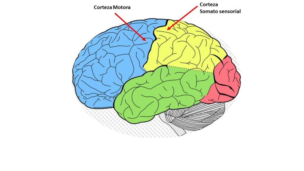 Diagrama del cerebro mostrando las corteza motora y la corteza senso motora