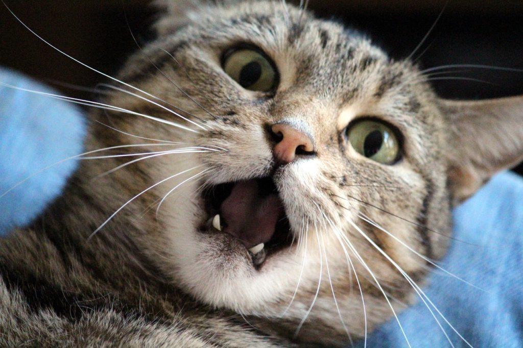 La cara de un gato con expresión de sorpresa